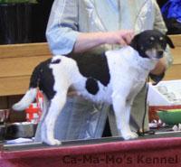 Hallandshund-2013-037