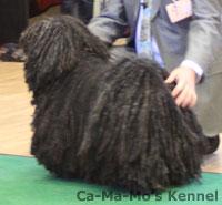 Hallandshund-2013-063