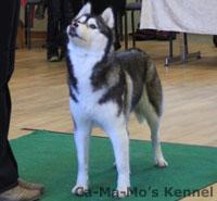 Hallandshund-2013-013